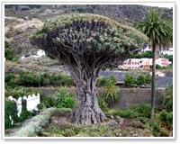 Albero del Parque del Drago, Tenerife